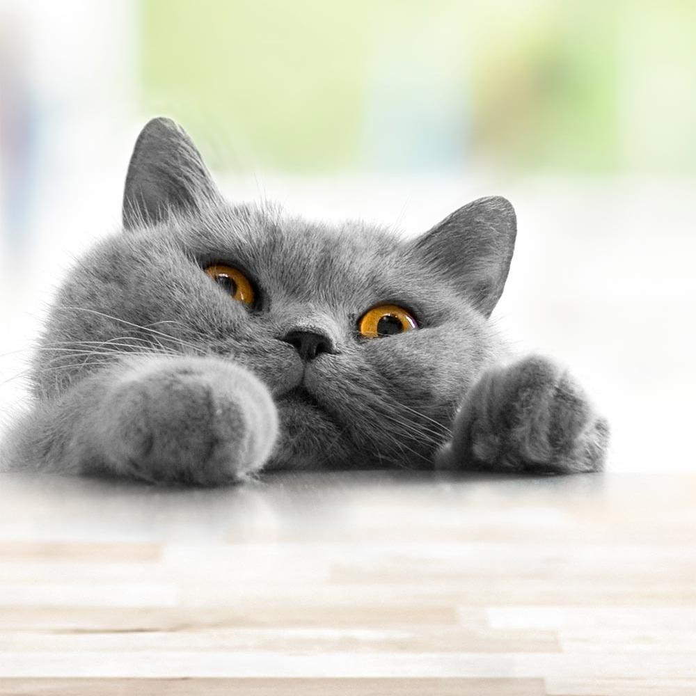 En grå katt med tassarna uppe på ett bord.